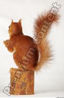 Squirrel-Sciurus vulgaris 0007