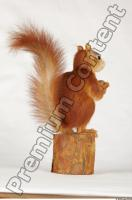 Squirrel-Sciurus vulgaris 0010