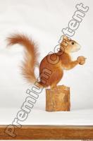 Squirrel-Sciurus vulgaris 0011