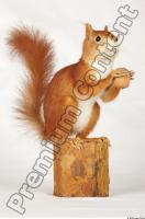 Squirrel-Sciurus vulgaris 0013