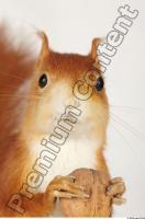 Squirrel-Sciurus vulgaris 0014