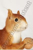 Squirrel-Sciurus vulgaris 0015