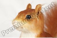 Squirrel-Sciurus vulgaris 0021