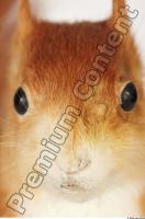 Squirrel-Sciurus vulgaris 0024