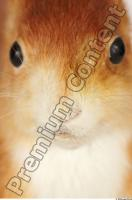 Squirrel-Sciurus vulgaris 0025