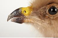 Eagle-Aquila pomarina 0018
