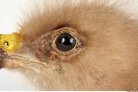 Eagle-Aquila pomarina 0019