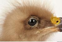 Eagle-Aquila pomarina 0027