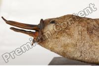 Duckbill-Ornitorhynchus anatinus 0002