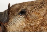 Duckbill-Ornitorhynchus anatinus 0004