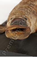 Duckbill-Ornitorhynchus anatinus 0018