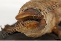 Duckbill-Ornitorhynchus anatinus 0019