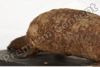 Duckbill-Ornitorhynchus anatinus 0024
