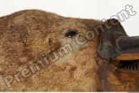 Duckbill-Ornitorhynchus anatinus 0026