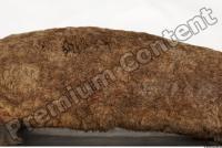 Duckbill-Ornitorhynchus anatinus 0031
