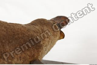 Duckbill-Ornitorhynchus anatinus 0037