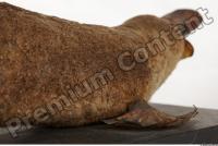 Duckbill-Ornitorhynchus anatinus 0039