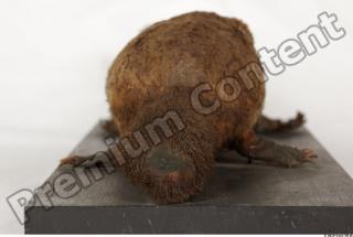 Duckbill-Ornitorhynchus anatinus 0043