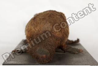 Duckbill-Ornitorhynchus anatinus 0044