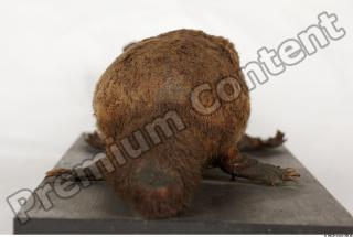 Duckbill-Ornitorhynchus anatinus 0045