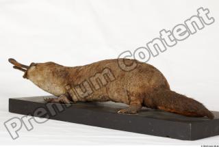 Duckbill-Ornitorhynchus anatinus 0046