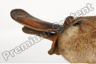 Duckbill-Ornitorhynchus anatinus 0051