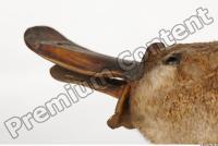 Duckbill-Ornitorhynchus anatinus 0052