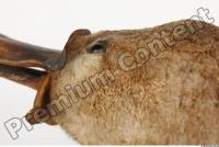 Duckbill-Ornitorhynchus anatinus 0053