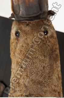 Duckbill-Ornitorhynchus anatinus 0056