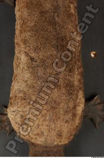 Duckbill-Ornitorhynchus anatinus 0062