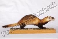 Ferret-Mustela eversmanni 0001