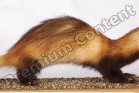 Ferret-Mustela eversmanni 0002