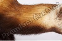 Ferret-Mustela eversmanni 0004