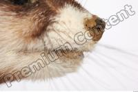 Ferret-Mustela eversmanni 0005