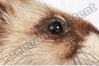 Ferret-Mustela eversmanni 0006