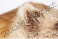 Ferret-Mustela eversmanni 0007