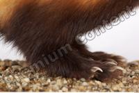 Ferret-Mustela eversmanni 0009