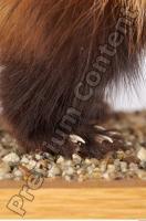Ferret-Mustela eversmanni 0011
