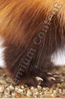 Ferret-Mustela eversmanni 0012