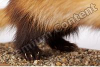 Ferret-Mustela eversmanni 0019
