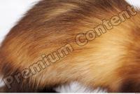 Ferret-Mustela eversmanni 0020
