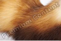 Ferret-Mustela eversmanni 0021