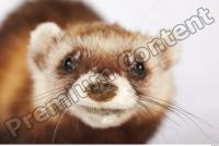 Ferret-Mustela eversmanni 0024