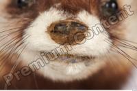Ferret-Mustela eversmanni 0025