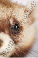 Ferret-Mustela eversmanni 0026