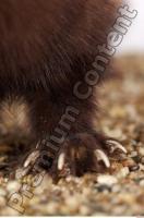 Ferret-Mustela eversmanni 0029