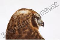 Buzzard-Circus aerogynosus 0007