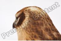 Buzzard-Circus aerogynosus 0009
