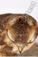 Buzzard-Circus aerogynosus 0020