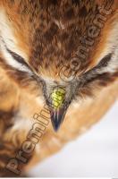 Buzzard-Circus aerogynosus 0021